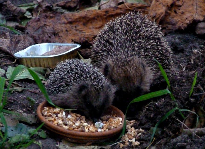 Igel Im Garten  Igel füttern Wir sind im Garten