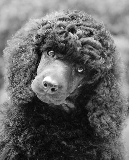 Königspudel Frisuren  Die besten 25 schwarzer Standardpudel Ideen auf Pinterest