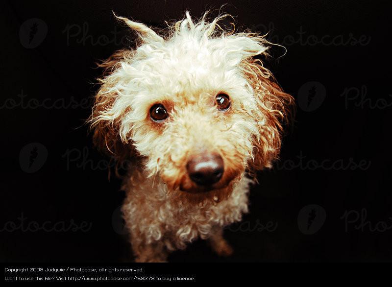 Königspudel Frisuren  Pudelkönig von bruzzomont Ein lizenzfreies Stock Foto zum