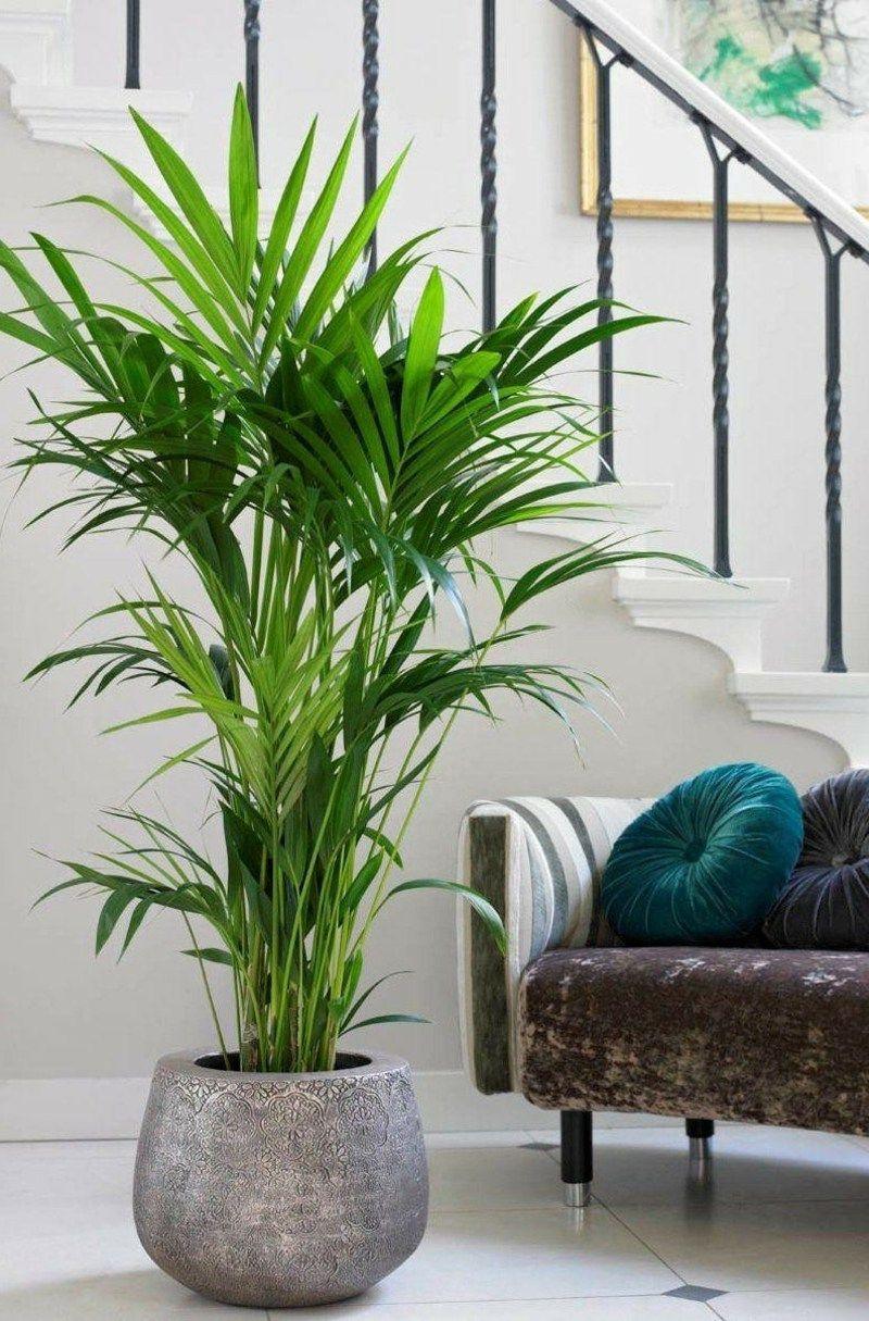 Wohnzimmer Pflanzen  Kentia Palme