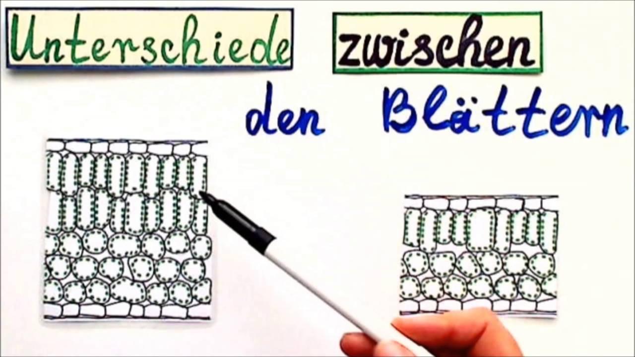 Licht Und Schattenblatt  Licht Und Schattenpflanzen Biologie – Wohn design