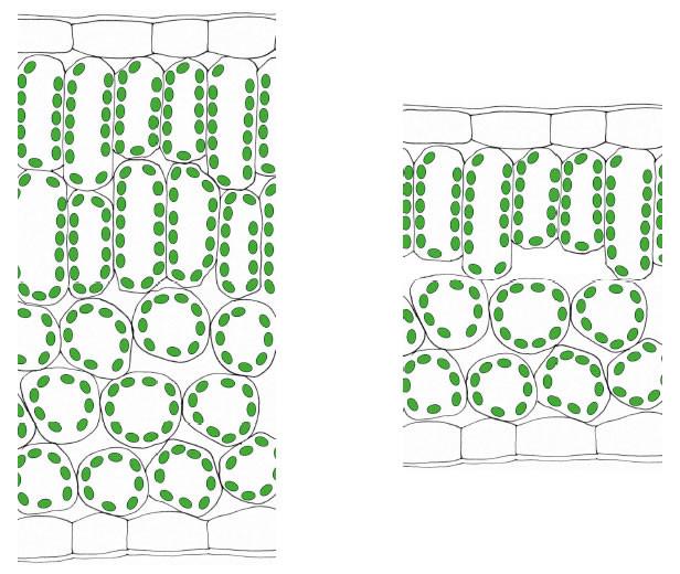 Licht Und Schattenblatt  Zelle Gewebe Organismus