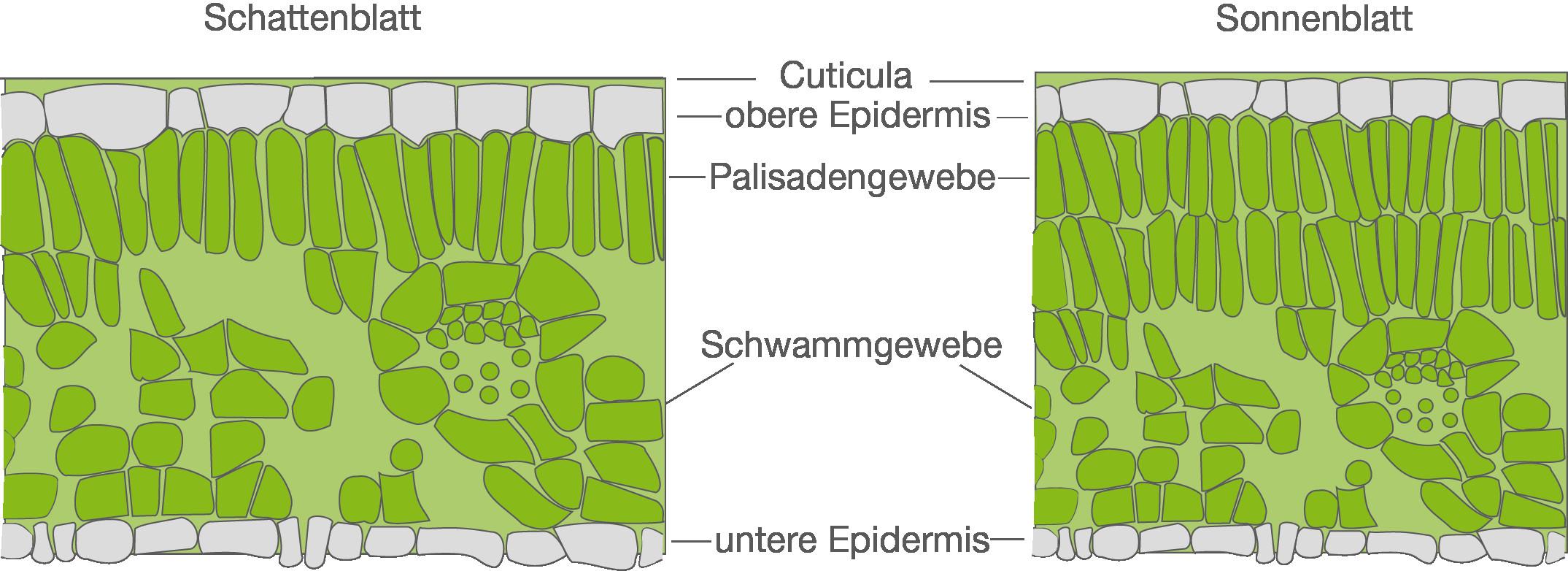 Licht Und Schattenblatt  Licht und Wasser Ökologie Bio Digitales Schulbuch