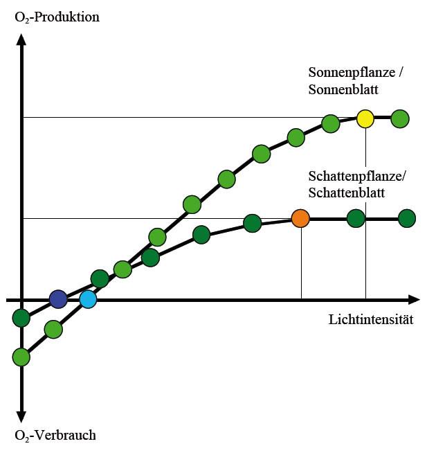 Licht Und Schattenblatt  Fotosynthesefaktor Lichtintensität