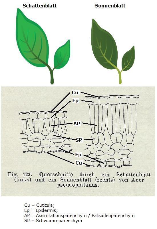 Licht Und Schattenblatt  Sonnen und Schattenblätter beim Efeu Hedera helix