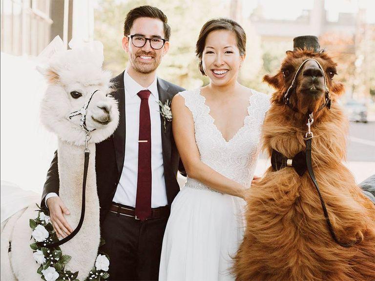 Alpaka Hochzeit  You Can Now Rent Wedding Llamas and Alpacas