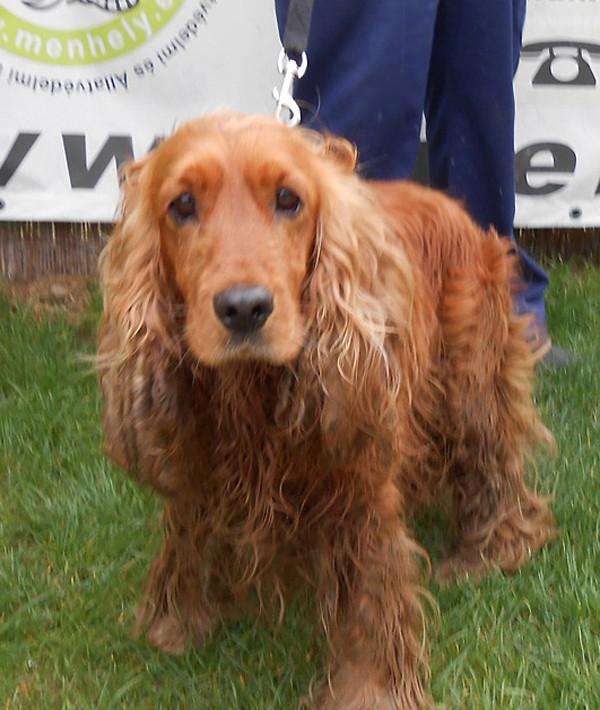 Cocker In Not Suchen Ein Zuhause  Hundeverwaltung Details Animal Happyend Ein