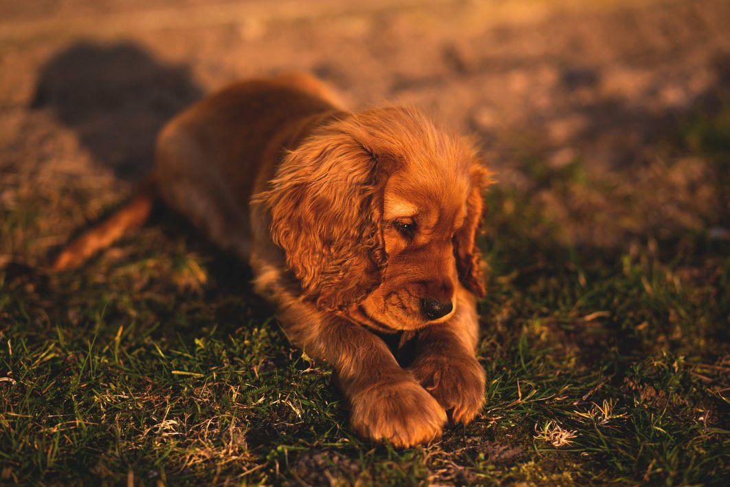 Cocker In Not Suchen Ein Zuhause  Tierheim Para sli – Hilft Tieren in Not