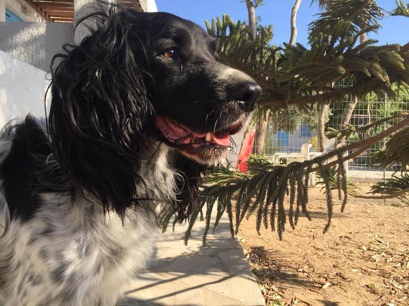 Cocker In Not Suchen Ein Zuhause  Rex wunderschöner Rüde ca 6 Jahre vermittelt
