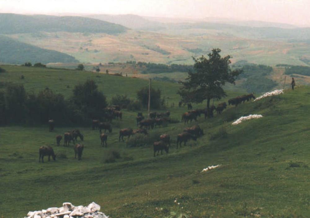 Landschaft In Rumänien  Landschaft bei Zalau in Rumänien mit Büffelherde Foto