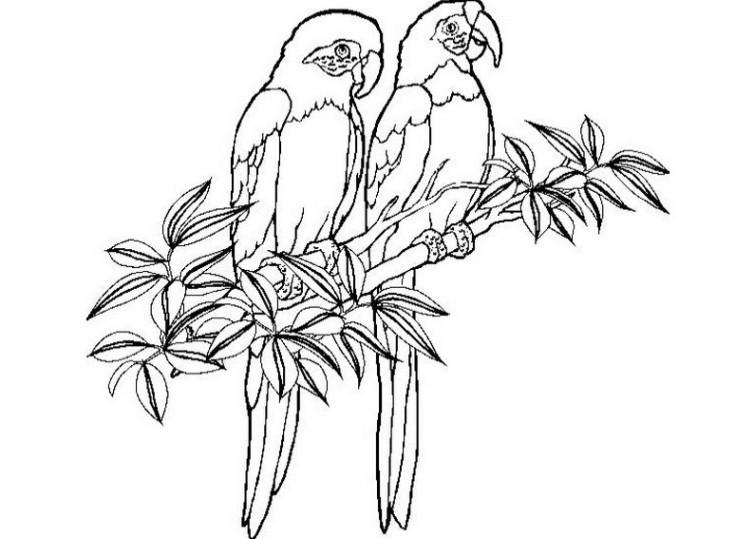 Papagei Ausmalbilder  Ausmalbilder für Kinder Papagei 11