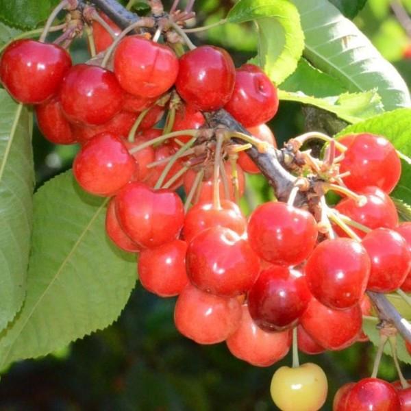 Prinzessin Garten  Große Prinzessin Süßkirsche Kirschbaum Halbstamm 150 170