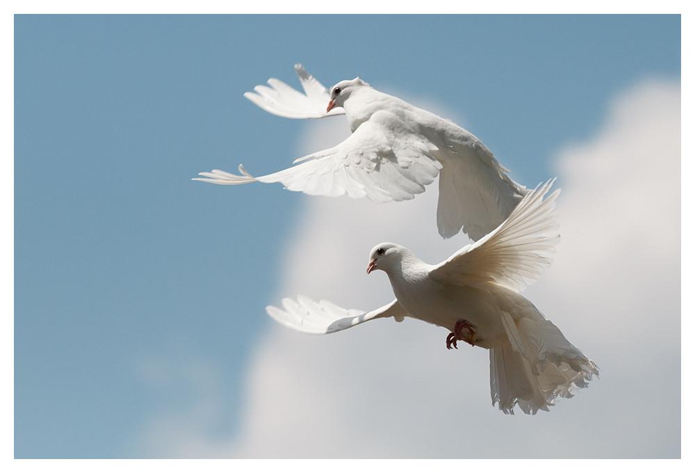 Weiße Tauben Hochzeit  zwei weiße Tauben Foto & Bild