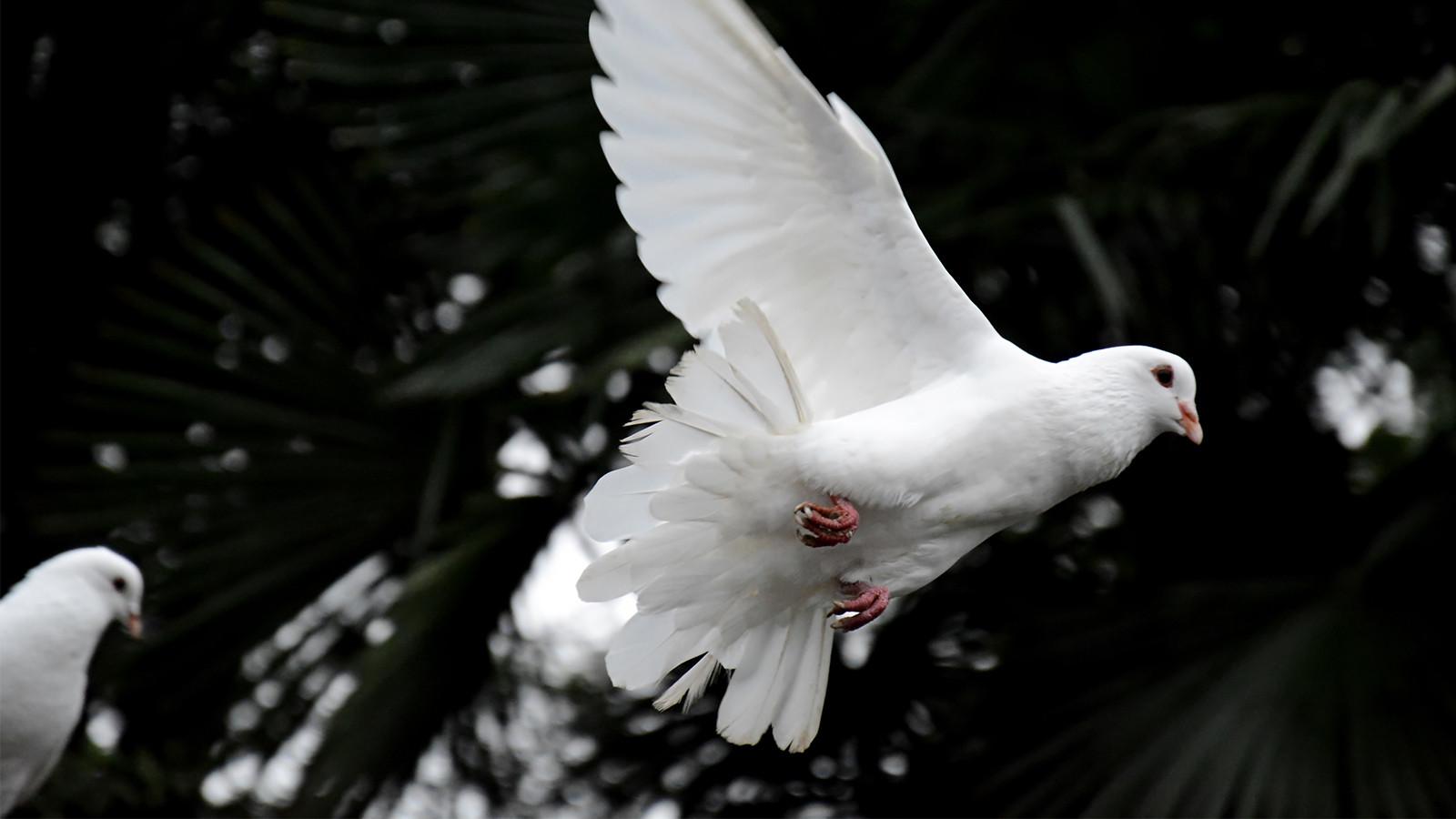 Weiße Tauben Hochzeit  Warum weiße Tauben bei einer Hochzeit für schlechtes Karma